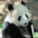 top-10-los-mejores-pandas-de-la-historia
