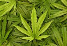 Corte dice sí a marihuana medicinal y muerte digna en la CDMX