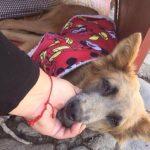 tras-ser-atropellado-este-perro-fue-adoptado-por-un-gringo