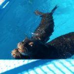 tres-lobos-marinos-de-atlantis-son-trasladados-a-nayarit