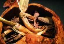 Elotes con mayonesa de hormiga chicatana de Pujol