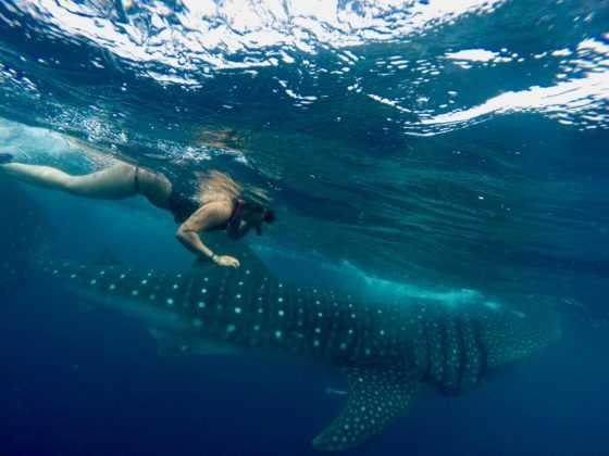 tiburones ballena