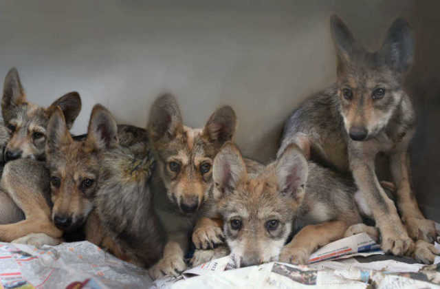 Cachorros-Lobo-Mexicano