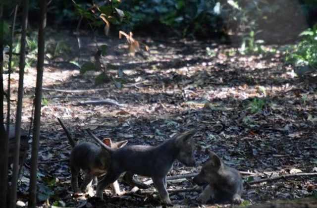 Cachorros-Zoologico-CDMX