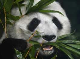 pandas en chapultepec