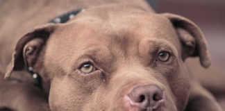 La página de Facebook Mundo Patitas pidió ayuda para reconocer a los perros, parece que son Pitbull