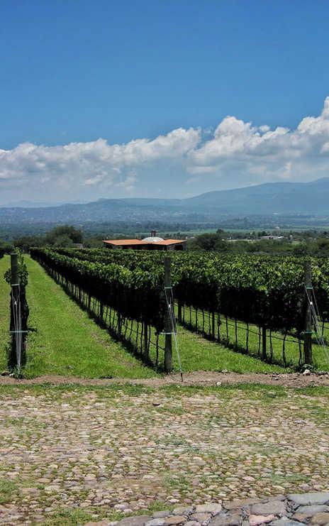 Viñedo Hacienda San José Lavista