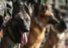 Entrenamiento para perros rescatistas en la UNAM