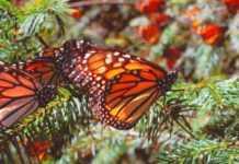 Lánzate a estos tres pueblos mágicos para ver a la mariposa monarca