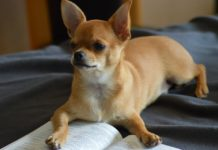 Estos son los perros más robados en la Ciudad de México.