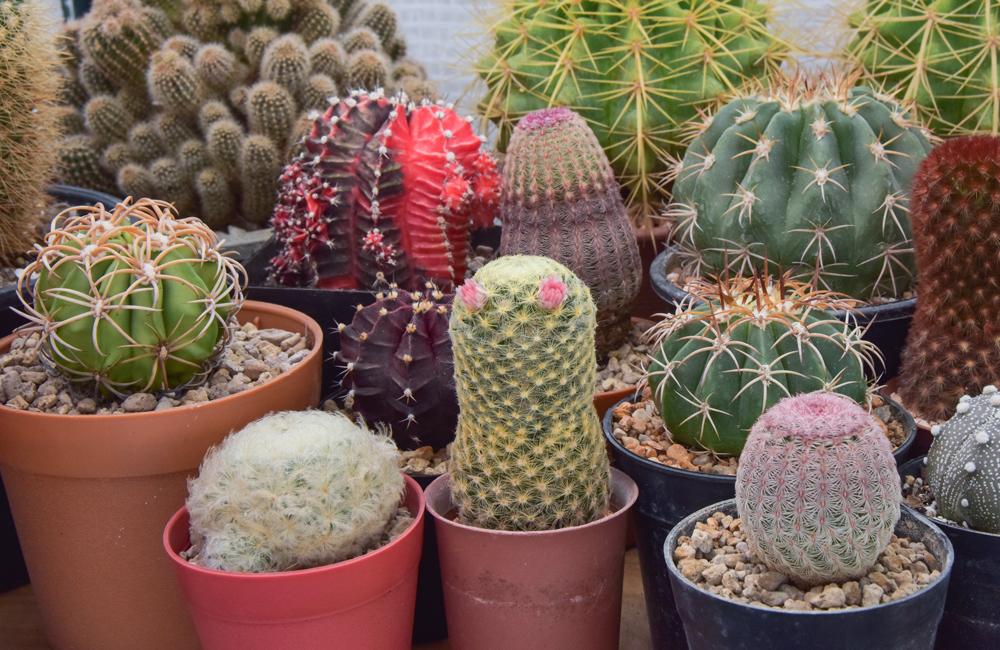 Te gustan las plantas l nzate al festival de las cact ceas for Cactaceas y suculentas