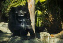 chimpancé del zoológico de Aragón