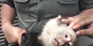 atrapan al mono capuchino