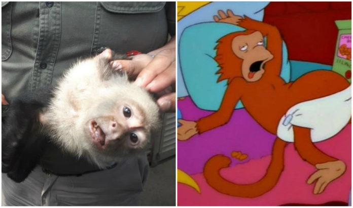 memes del mono capuchino