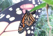 mariposas monarca en Chapultepec