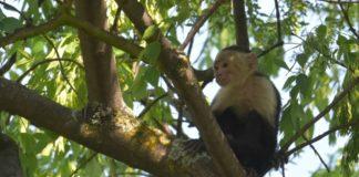 ¿Cómo sobrevivió el mono capuchino en la Ciudad de México?