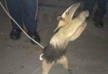 Policías rescataron un oso hormiguero en la CDMX