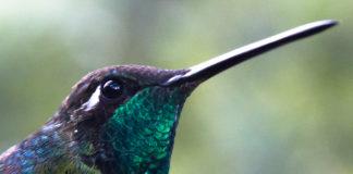 Hay dos especies de colibríes en la CDMX predominantes.
