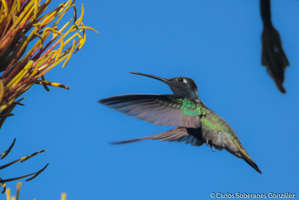 Los jardines urbanos para colibríes en la CDMX los ayudan a conseguir alimento.