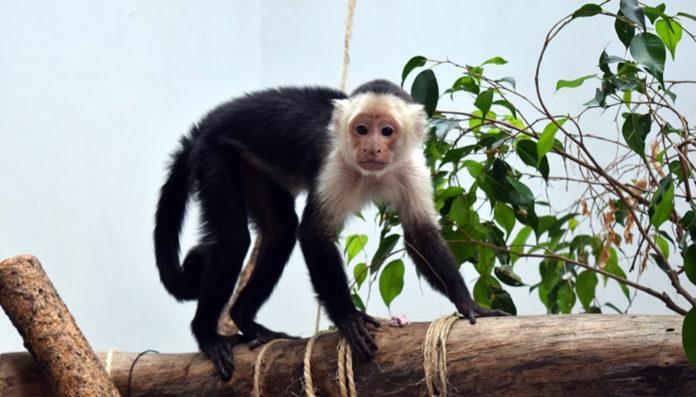 mono capuchino de Reforma