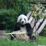 la-cdmx-tiene-a-los-unicos-pandas-que-no-pertenecen-a-china