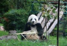 Los pandas en la CDMX son los únicos que no pertenecen a China