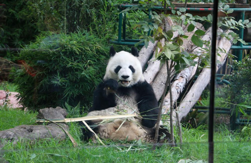 La CDMX tiene a los 煤nicos pandas que no pertenecen a China