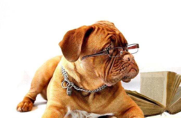 raza de perro más inteligente