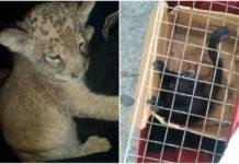 ¡El mono capuchino no venía solo! Los animales silvestres continúan apareciendo en la CDMX. Ahora policías rescataron un león y un mono araña.