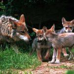 el-lobo-gris-ya-no-esta-en-peligro-de-extincion