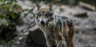 Camada de lobos grises