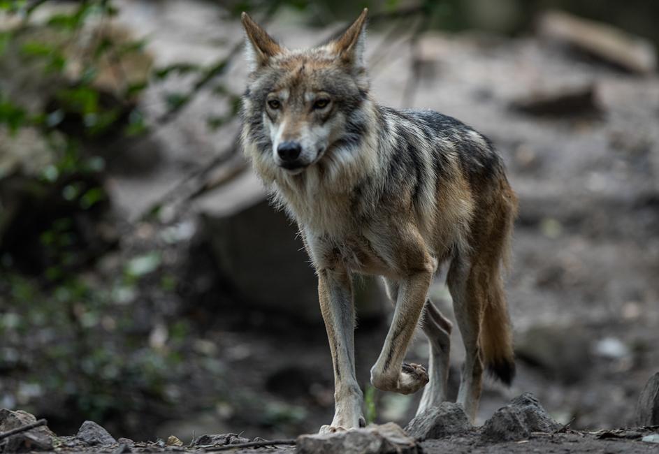 Camada De Lobos Grises En El Zoológico De Los Coyotes
