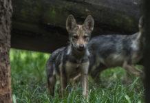 ¿Viste a los bebés lobos en la CDMX? ¡Ya tienen nombre!