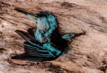 Tráfico de colibríes