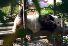 panda de chapultepec cumple 31 años