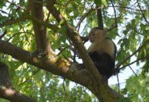 Mono capuchino de las Lomas vivirá en un zoológico chilango