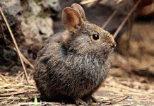 Adiós, conejo teporingo; se extingue del Nevado de Toluca
