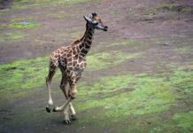 jirafa del Zoológico de Chapultepec