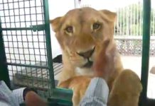 Welcome to the jungle: un hombre tiene a tres leones en la azotea