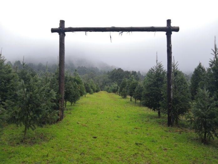 Bosque de los Árboles de Navidad en Amecameca