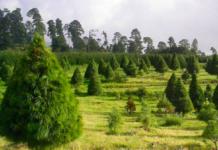 Árboles de Navidad en maceta