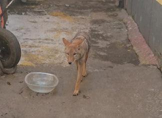 coyote en iztapalapa