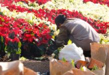 Plantan miles de nochebuenas en Paseo de la Reforma