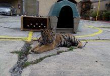 tigre en restaurante de iztapalapa