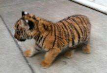 Reportan a vecinos que tienen un tigre en un restaurante de la CDMX