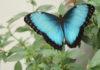 Mariposas azules en Chapultepec