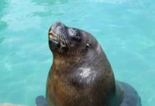 lobo marino del zoológico de Aragón