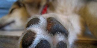 Cómo cuidar las patas de los perros