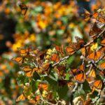 sin-plan-para-el-puente-lanzate-al-festival-cultural-de-la-mariposa-monarca-2019