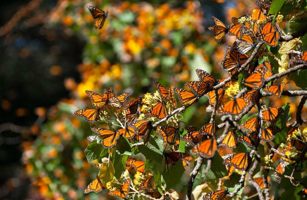 chilango - ¿Sin plan para el puente? Lánzate al Festival cultural de la  mariposa monarca 2019
